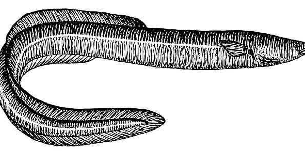Eel Angle Swim Dip Fish Tail End Fins Gills Free V