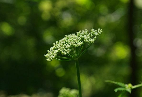 Giersch Finance Floret Business Umbel Flower Wild