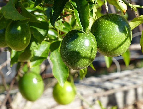 Passion Fruit Creeper Green Lime Vine