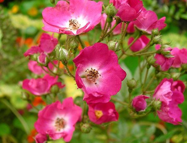 Roses Designs Flower Floret Rosebush Pink Flushed