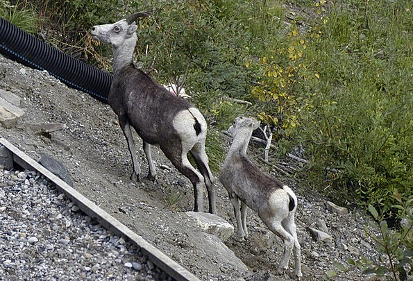 Mountain Sheep Beef Animals Faunae Lamb Sheep Ewe