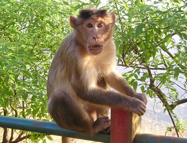 India Ape Wild Rough Monkey