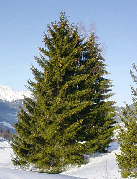 Spruce Neat Landscapes Nature Christmas Tree Conif