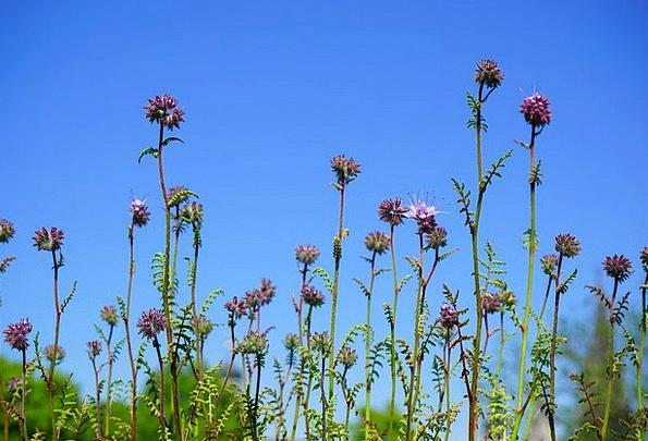 Phacelia Floret Flowers Plants Flower Bueschelscho