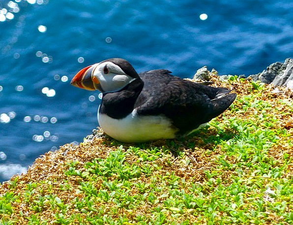 Puffin Fowl Animal Physical Bird Nature Countrysid