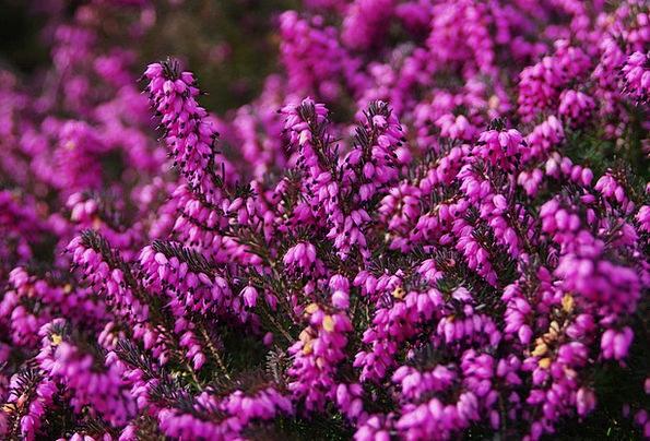 Heather Purple Elaborate Calluna Vulgaris Shrub Bu
