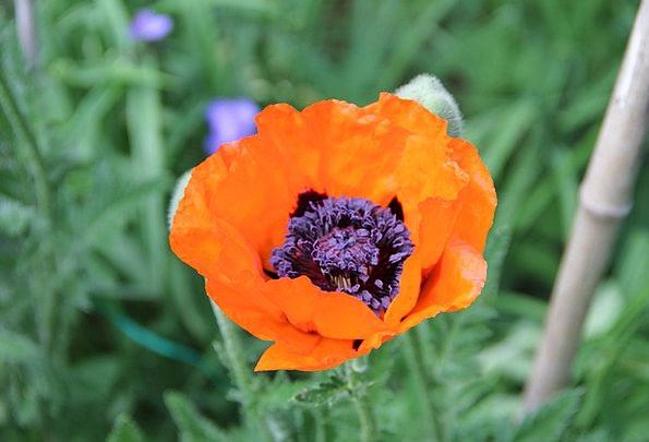 Spring Coil Plants Poppy Flowers