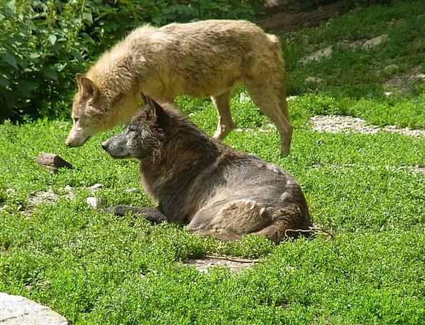 Wolves Casanovas Wild Animal Canis Lupus Animal Ph