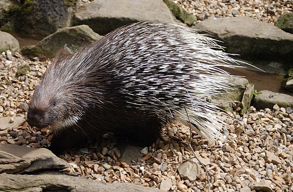 Porcupine Creature Spines Backs Mammal Quills Feat