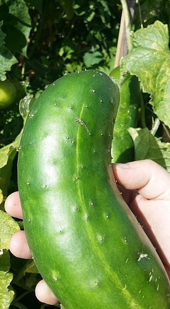 Cucumber Lime Hand Pointer Green Mature Establishe