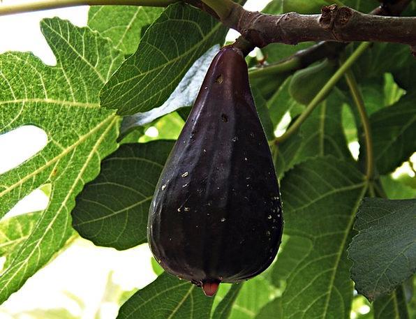 Fig Drink Ovary Food Mature Established Fruit Vita
