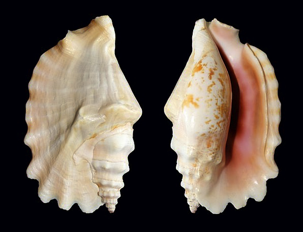 Knobbed Conch Shell Bomb Snail Sinustrombus Sinuat