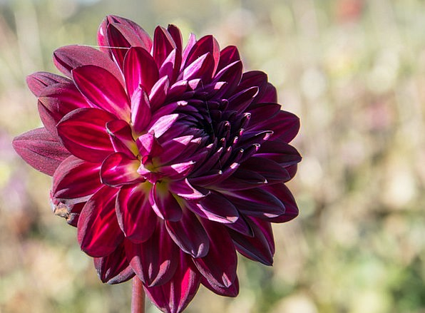 Dahlias Landscapes Nature Geothermal Dahlia Plant