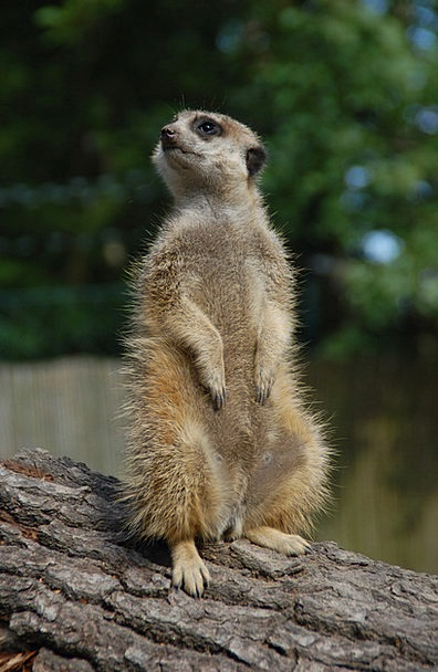 Suricat Physical Upright Standing Animal Looking A