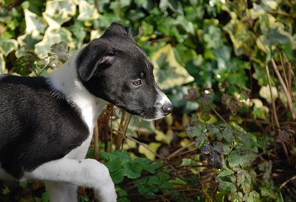 Lurcher Brat Canine Doglike Puppy Dog Pet Black St