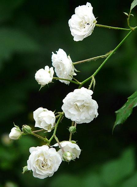 Rose Design Snowy Shrub Rose White Pure White Flowers Flora