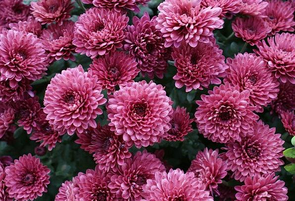 Chrysanthemums Floret Pink Flushed Flower Blossom