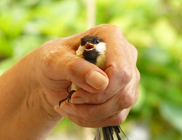 Tit Hand Pointer Parus Major Surprised Keep Save F