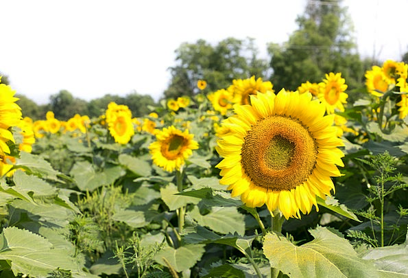 Sunflowers Arena Flowers Plants Field Summer Straw