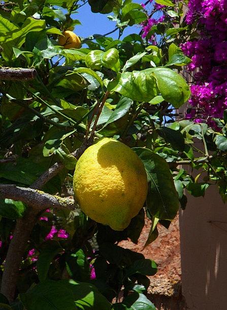 Lemon Dud Drink Food Citrus Lemon Tree Mediterrane