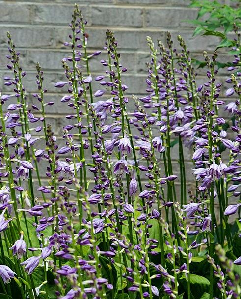 Hostas purple blossoms hosta flowers bloom flower spikes floral hostas purple blossoms hosta flowers bloom flower mightylinksfo