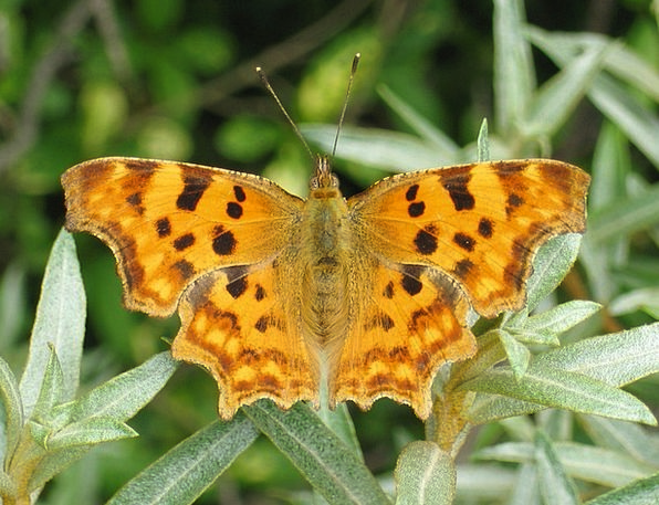 Butterfly Polygonia C Album C Falter Butterflies N