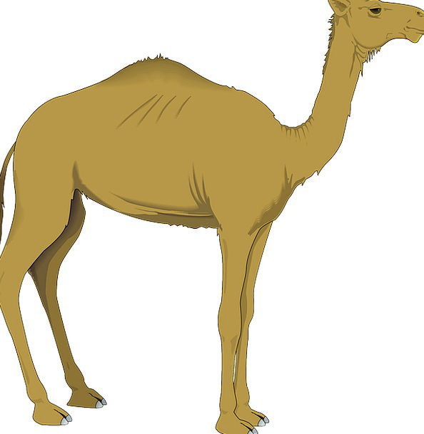 Camel Beige Bulge Desert Reward Hump Zoo Dromedary