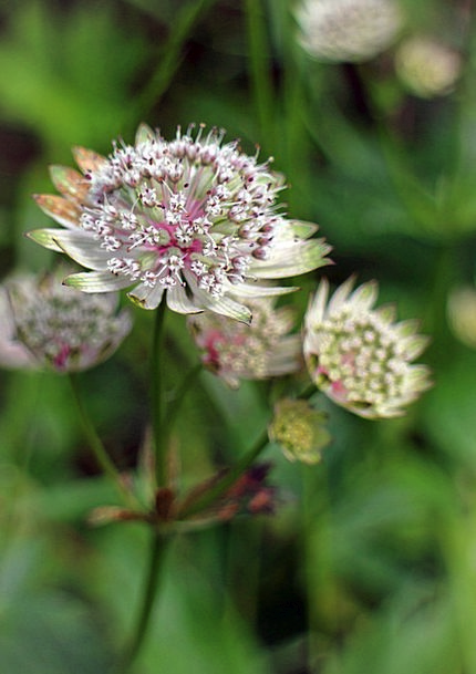 Great Masterwort Masterwort Astrantia Major Wild F