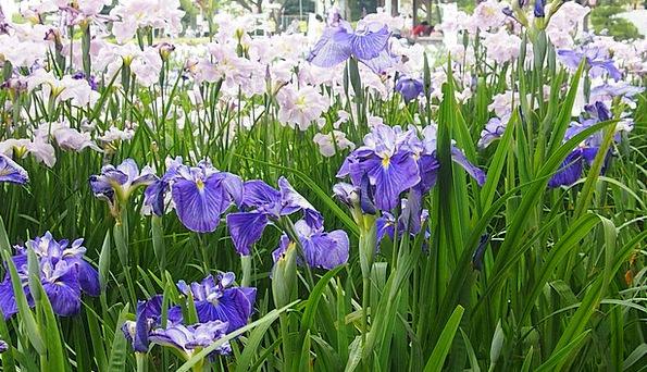 In The Early Summer Purple Elaborate Rabbitear Iri