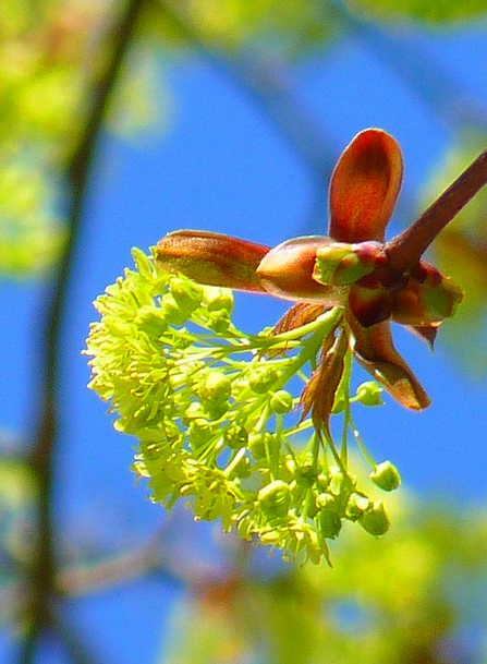 Maple Landscapes Nature Spring Coil Maple Blossom