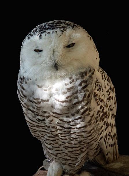 Snowy Owl Bird Fowl Chouette Harfang Nature Countr