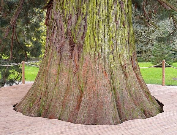 Giant Redwood Tree Sapling Sequoiadendron Giganteu