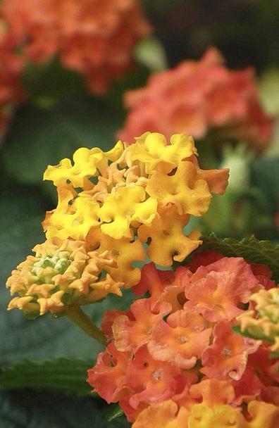 Lantana Landscapes Floret Nature Orange Carroty Fl