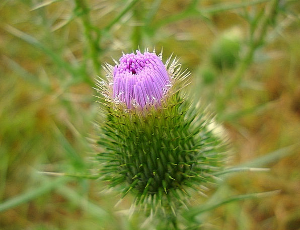 Thistle Landscapes Touchy Nature Nature Countrysid