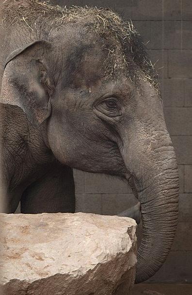 Animal Physical Ear Auricle Asian Nose Elephant Mo