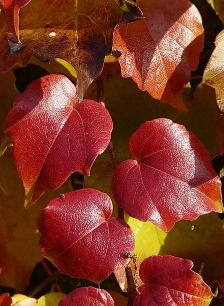 Vine Leaves Coloring Complexion Wine Partner Genui