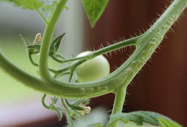 Tomato Landscapes Nature Plant Vegetable Tomatoes