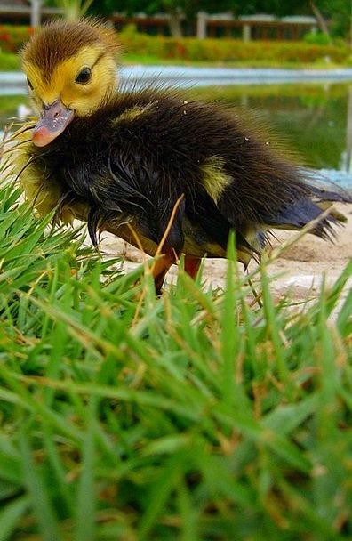 Duckling Lawn Animal Physical Grass Spring Farm Fa