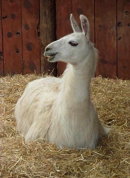 Llama Wool Angora Camelid Peru Farm Livestock Anim