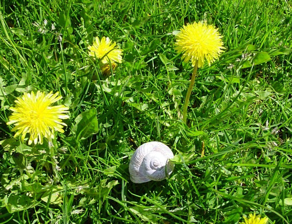 Dandelion Landscapes Nature Meadow Field Snail Pla