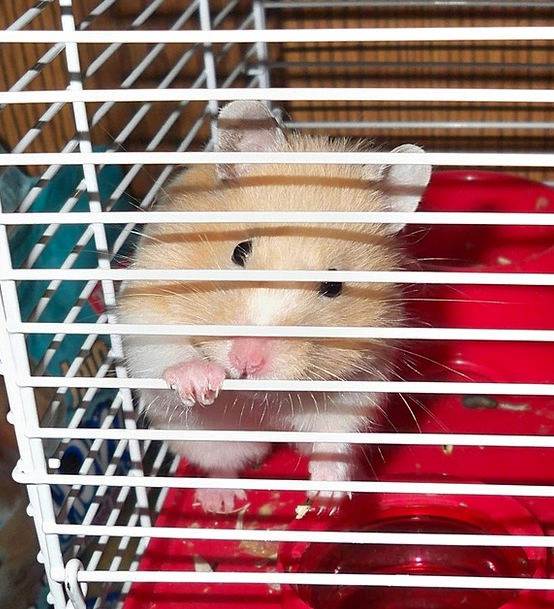 Hamster Captive Pet Domesticated Caged Rodent Mous