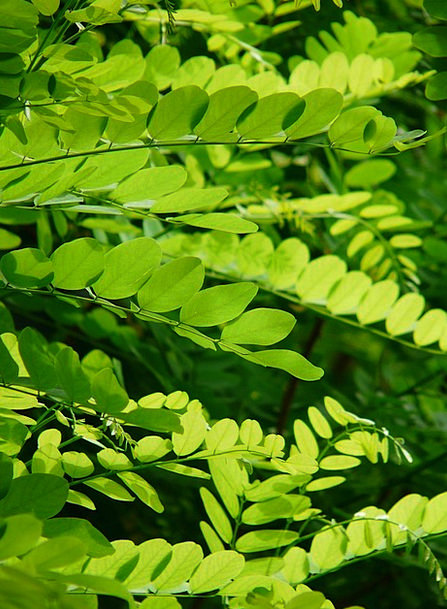 Leaves Greeneries Lime Common Maple Green Light Gr