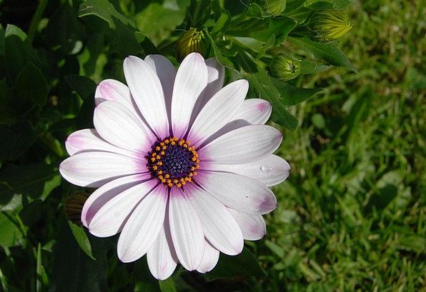Osteospermum Daisy African Flower Floret Bloom Clo
