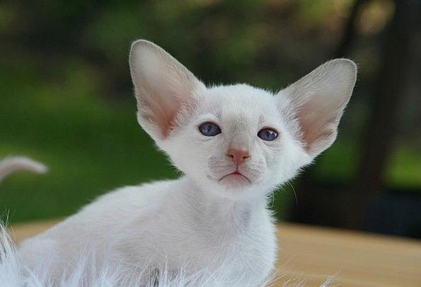 cute fluffy siamese kittens - photo #23