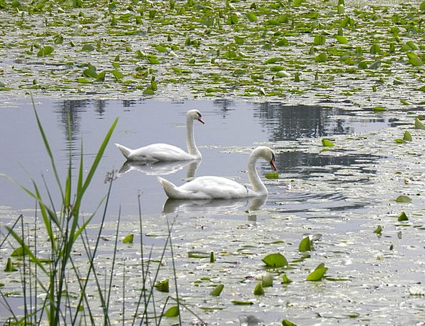 Swans Wanders Landscapes Pool Nature Water Lilies