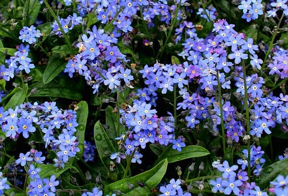 Forget me not plants blue azure flowers bloom flower leaves forget me not plants blue azure flowers bloom flow mightylinksfo