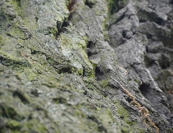 The Bark Sapling Moss Tree