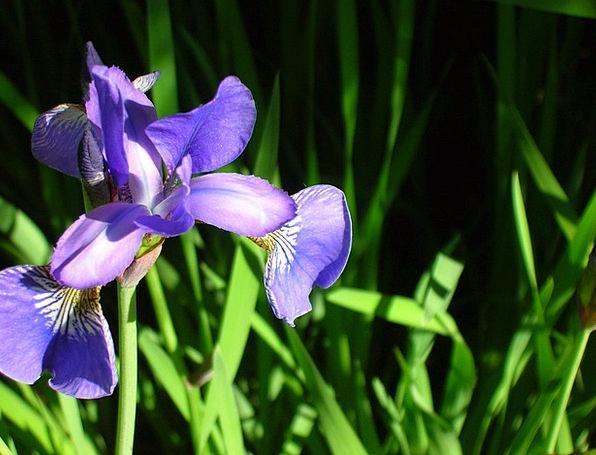 Flower Floret Landscapes Vegetable Nature Iris Pla