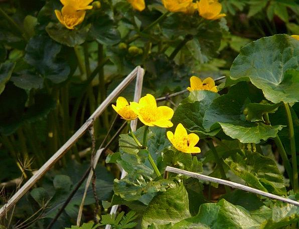 Caltha Palustris Flower Floret Aquatic Plant Yello