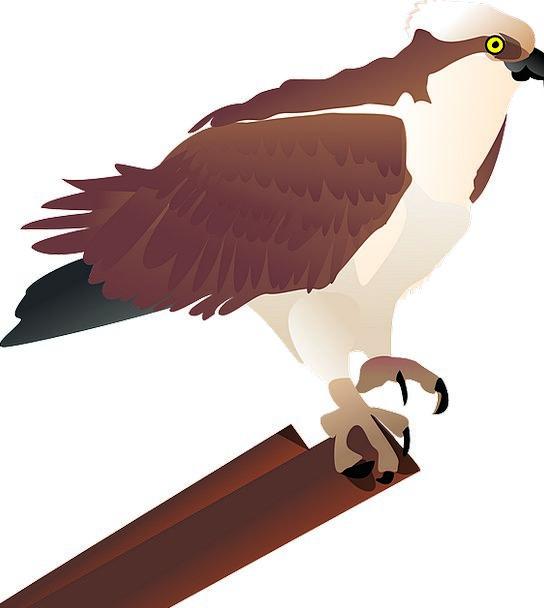 Hawk Warmonger Falcon Osprey Raptor Bird Bird Of P